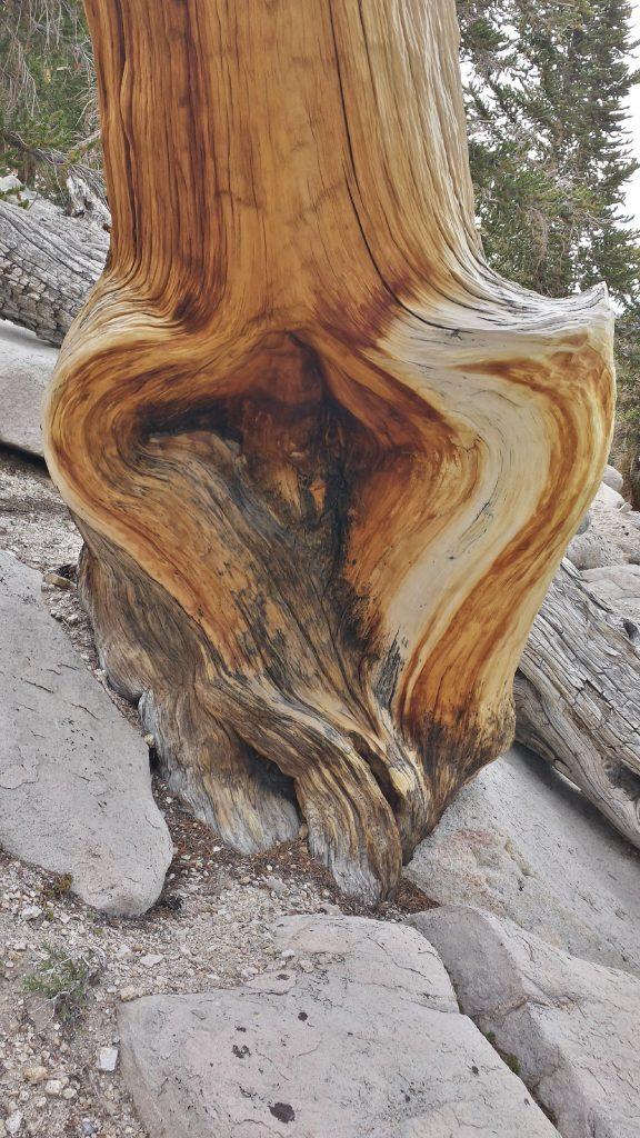 heart shaped tree on trans-sierra hike to mt. whitney